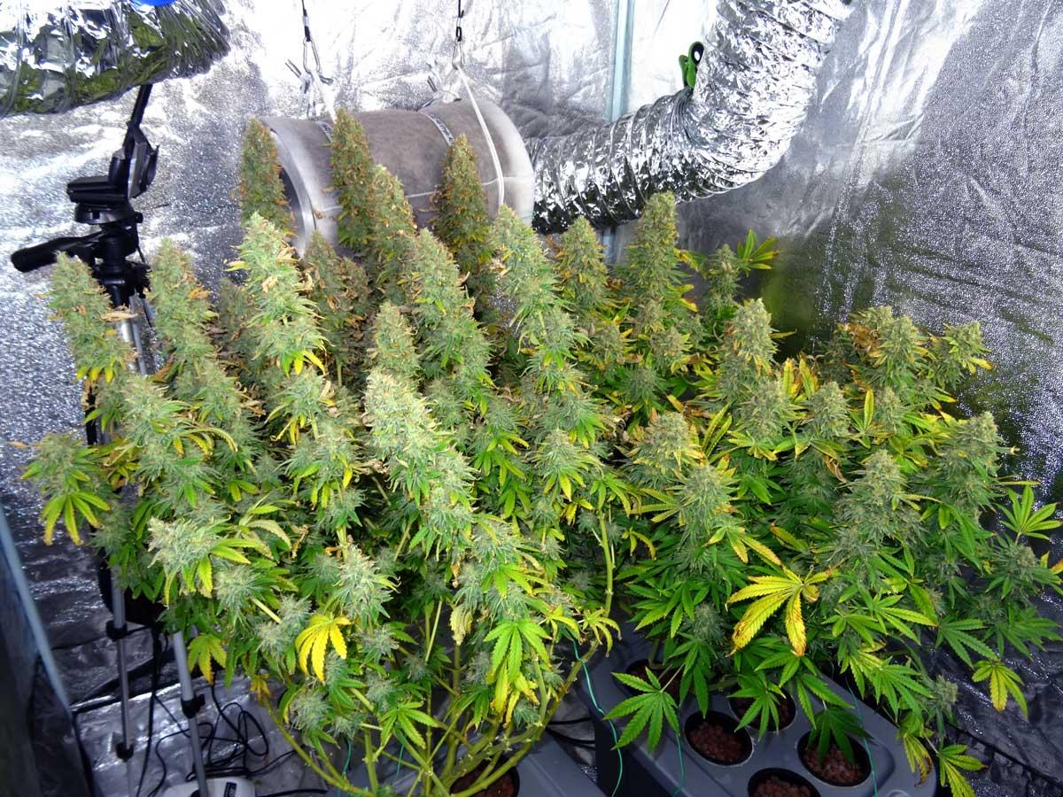 How to Increase Marijuana Yields