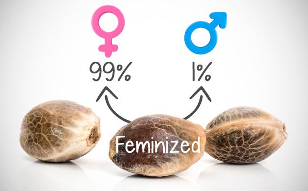 feminized vs regular seeds